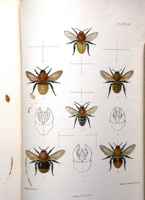 Image for The Hymenoptera Aculeata of the British Islands - a descriptive account of the families, genera and species indigenous to Great Britain and Ireland, with notes as to habits, localities, habitats etc