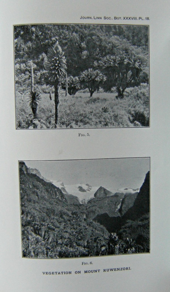 Image for An Account of the Plants Collected on Mt Ruwenzori by Dr A.G.F. Wollaston