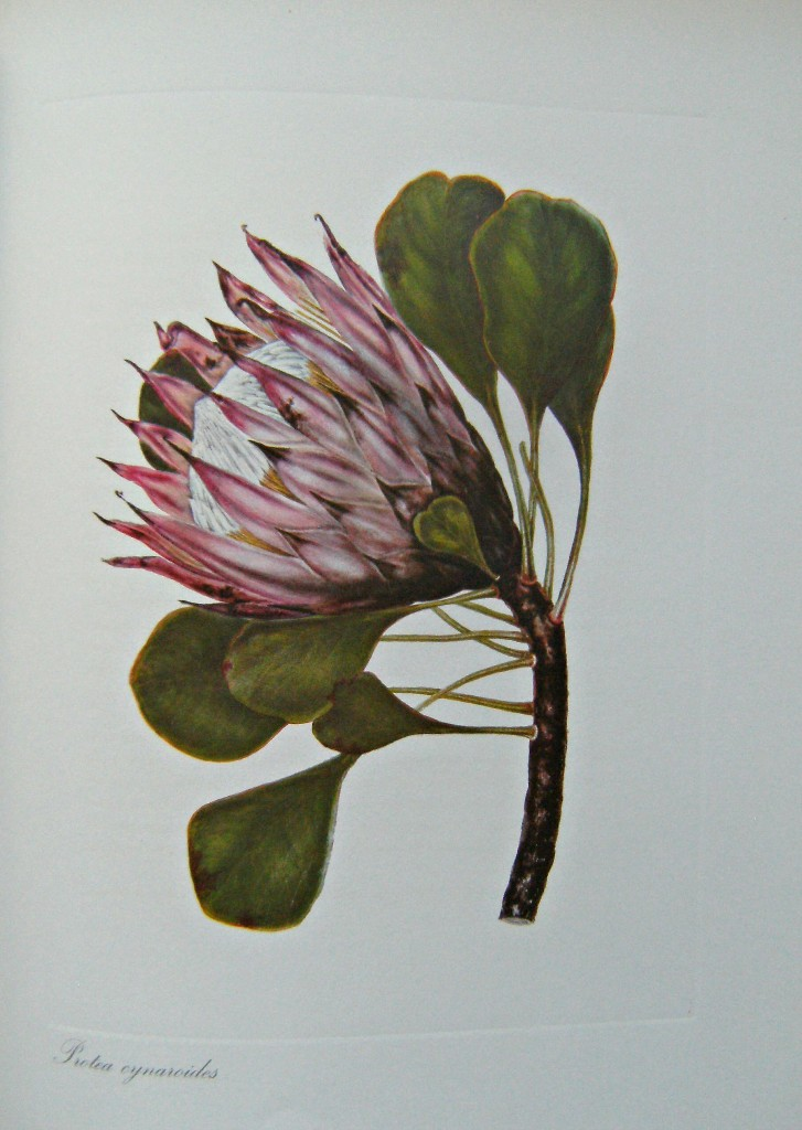 Image for More Cape Flowers By a Lady -  The Paintings of Arabella Roupell